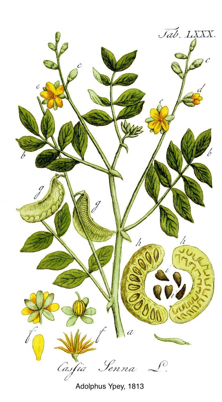 beneficios de hojas de sen