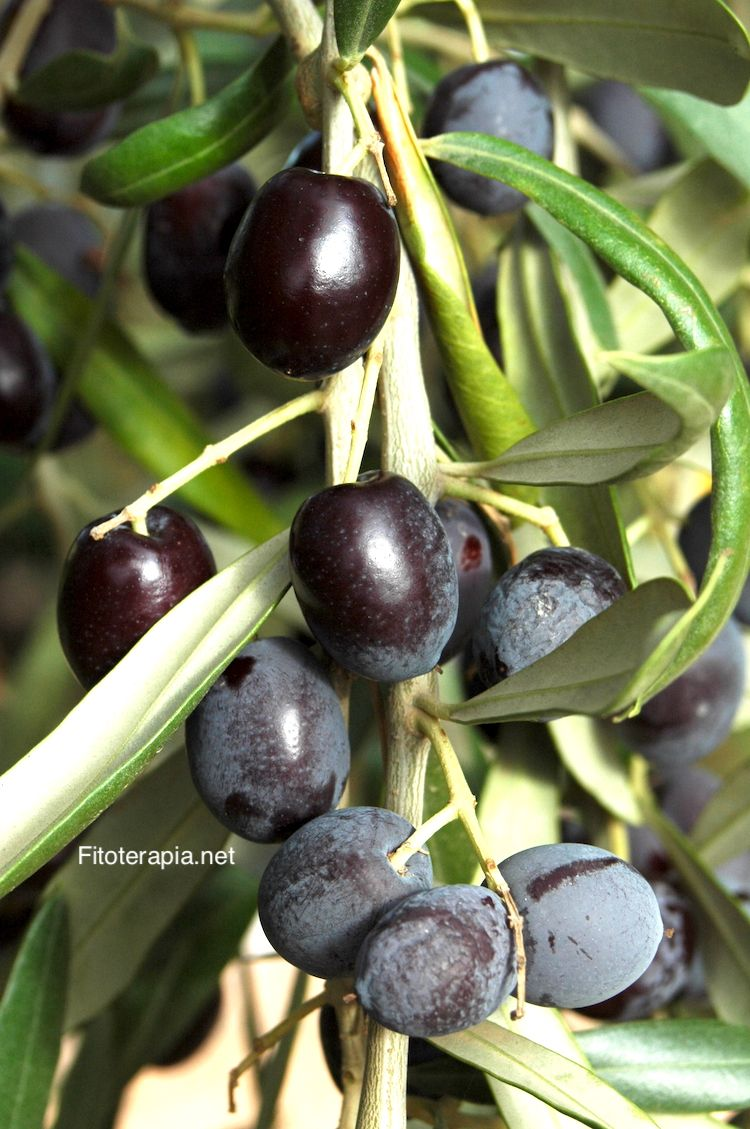 prostatitis con extracto de hoja de olivo
